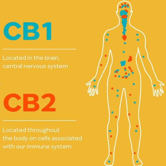 select cbd reviews cb1 cb2 receptors